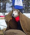 Jedi-Dog på Tynset (8439941153).jpg