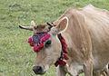 Jersey cattle in Sisdağı 03.jpg