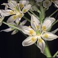 John 223--Zigadenus fremontii II--Redwood Park--17 March 1996 (13275932793).jpg
