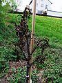 Juglans Memmingen-Hart 4-2011 2.JPG