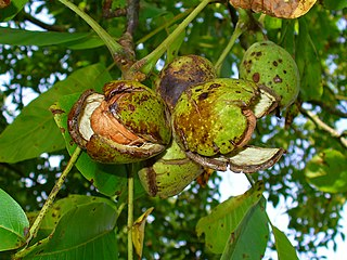 Dozreté plody vlašských orechov