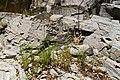 Juncus ensifolius - Flickr - aspidoscelis.jpg