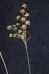 Juncus marginatus NRCS-1.jpg