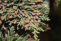 Juniperus maritima 5602.JPG