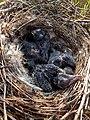 Juvenile Rabenkrähen im Nest.jpg