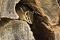 Juvenile Sonoma chipmunk hiding in a dead tree.jpg
