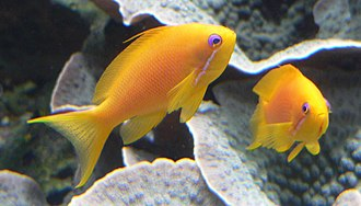 "Coastal fish - The sea goldie is an anthias. They are hermaphrodite, and swim in ""harems"""