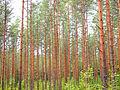 Jyväskylä - trees on Touruvuori.jpg