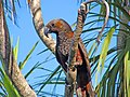 Kaka (Nestor meridionalis)- Wellington -NZ-8.jpg