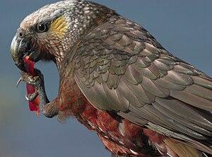 New Zealand parrot - Image: Kaka Stewart Island 1c