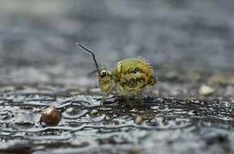 Entognatha - Collembola, family Sminthuridae