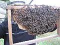 Kepingan sarang lebah lalat.JPG