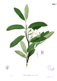 Kibatalia blancoi Blanco2.428b