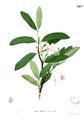 Kibatalia blancoi Blanco2.428b.png