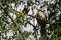 Koel&WaterbirdFosterparent.jpg