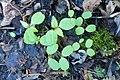 Korina 2017-04-17 Impatiens parviflora 1.jpg