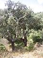 Korkeichen (Quercus suber) im Naturpark Los Alcornocales 2.JPG