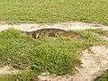 Krokodil (6558981697).jpg