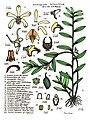 LR025 72dpi Dendrobium luteocilium.jpg