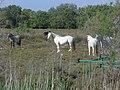 La camargue en cinq clichés, l'eau, le riz, les chevaux, les taureaux, les flamands 03.jpg