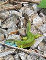 Lacerta viridis Deutschland 005.jpg