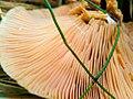 Lactarius deliciosus 96018455.jpg
