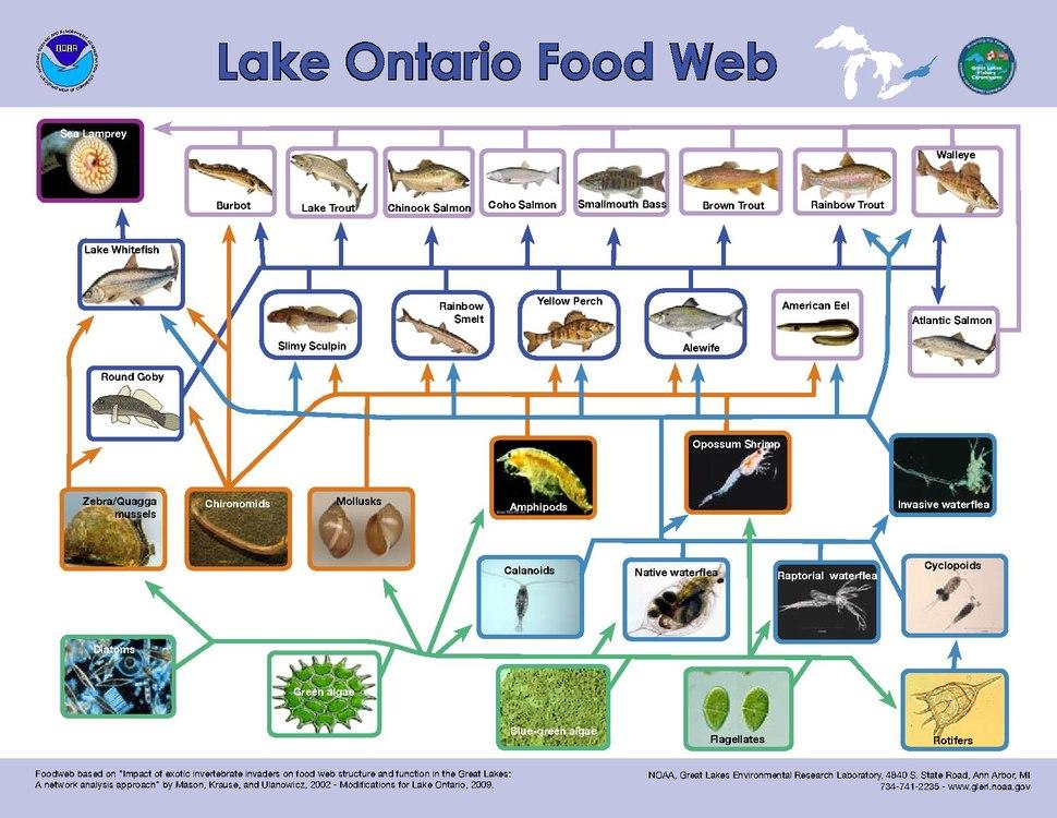Lake Ontario food web.pdf