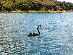 Lake Rotomahana black swan.jpg