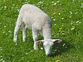 Lamb Balkhausen Germany 1.jpg