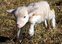 Lamb first steps (edited).jpg