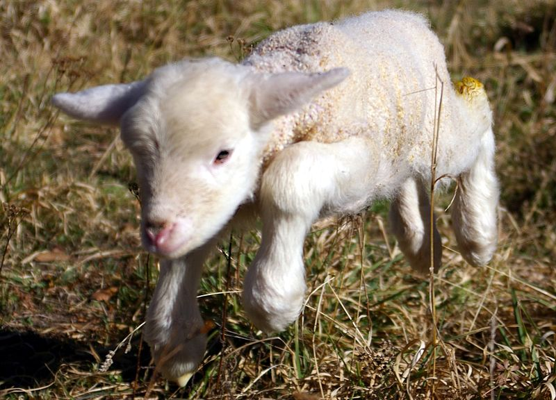 File:Lamb first steps (edited).jpg