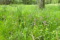 Lamium maculatum kz13.jpg