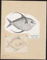 Lampris luna - 1700-1880 - Print - Iconographia Zoologica - Special Collections University of Amsterdam - UBA01 IZ13500347.tif