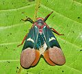 Lantern fly (Scamandra tethis) (8381194036).jpg