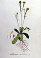 Lapsana minima — Flora Batava — Volume v8.jpg
