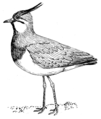 Lapwing (PSF).png