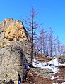 Larix sibirica Gorkhi-Terelj.jpg