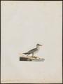 Larus hybernus - 1700-1880 - Print - Iconographia Zoologica - Special Collections University of Amsterdam - UBA01 IZ17900204.tif