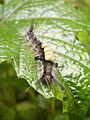 Larva 001.jpg