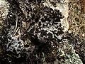 Lasallia pustulata 119862102.jpg