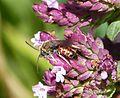Lasioglossum calceatum^ Male - Flickr - gailhampshire (2).jpg