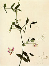 Lathyrus palustris WFNY-116.jpg