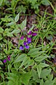 Lathyrus vernus (Fabaceae) (49874550213).jpg