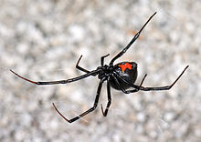 A black widow spider with a red hourglass marking.