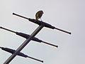 Lautstark singender Vogel Südhessen Juni 2014.JPG