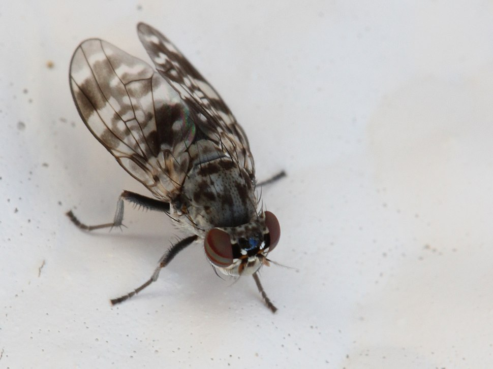 Lauxaniidae Cestrotus species 2012 03 05 3589s