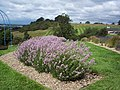 Lavender in the Howardian Hills - geograph.org.uk - 494917.jpg