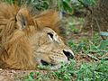 Lazy king of forest.jpg
