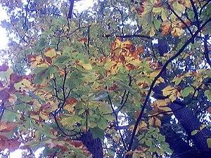 Leaf miner - Leaf miner damage to a horse chestnut tree