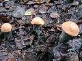 Leccinum versipelle12.jpg